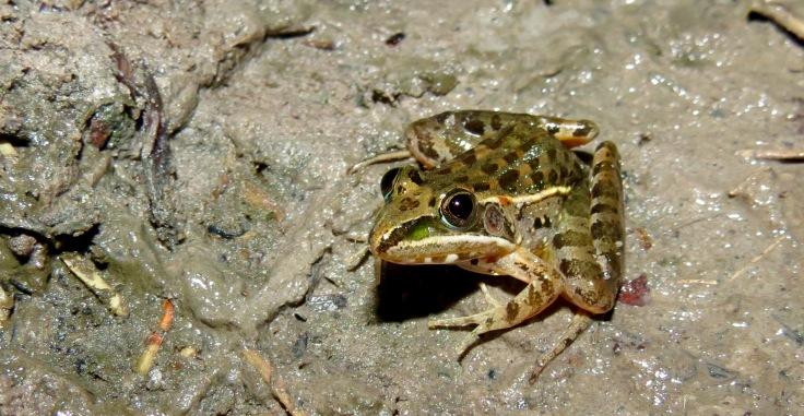 Herpetofauna surveys revealed many species of reptile and amphibian living in Iluma - a rocket frog. Photo copyright: David Bartholomew