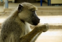 The Udzungwa mountains are home to a rich array of primates, including yellow baboons. Photo copyright: David Bartholomew