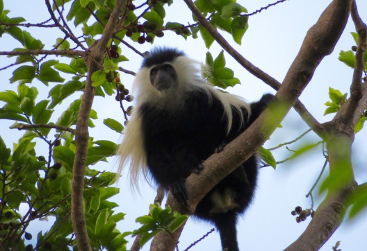 The Udzungwa mountains are home to a rich array of primates, including the Angolan black and white colobus monkey. Photo copyright: David Bartholomew
