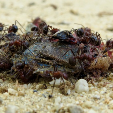 ...such as the rapid decomposition of this dead Agama lizard. Photo copyright: David Bartholomew