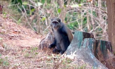 The Udzungwa mountains are home to a rich array of primates, including mitis monkeys. Photo copyright: David Bartholomew