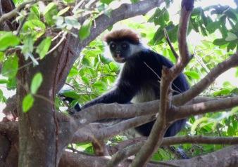 The Udzungwa mountains are home to a rich array of primates, including the endemic Iringa red colobus monkey. Photo copyright: David Bartholomew