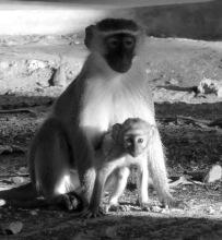 The Udzungwa mountains are home to a rich array of primates, including black-faced vervet monkeys. Photo copyright: David Bartholomew
