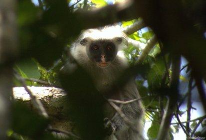 Zanzibar red colobus monkey, Jozani forest, Zanzibar. Photo copyright: David Bartholomew