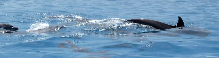 Bottlenose dolphins, Mnemba atoll, Zanzibar. Photo copyright: David Bartholomew