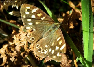 Speckled wood butterfly, Cornwall. Photo copyright: David Bartholomew