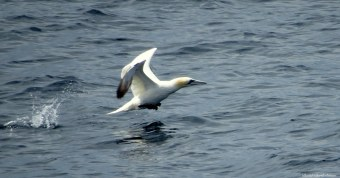 Northern gannet, Cornwall. Photo copyright: David Bartholomew