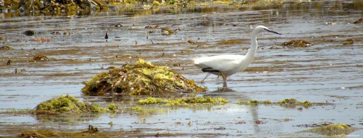 Little egret, Marazion, Cornwall. Photo copyright: David Bartholomew