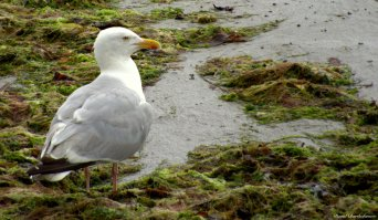 Herring gull, Marazion, Cornwall. Photo copyright: David Bartholomew