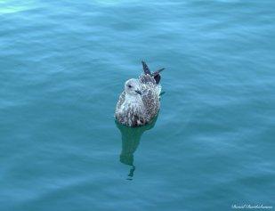 Great black-backed gull, St. Ive's, Cornwall. Photo copyright: David Bartholomew
