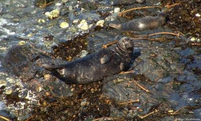 Grey seal, Godrevy, Cornwall. Photo copyright: David Bartholomew