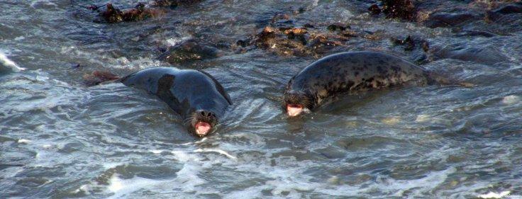 Grey seals, Godrevy, Cornwall. Photo copyright: David Bartholomew