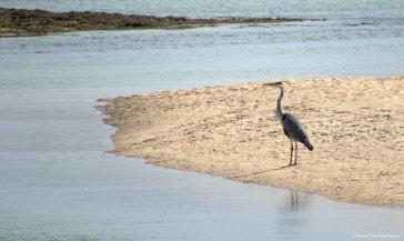 Grey heron, Hayle estuary, Cornwall. Photo copyright: David Bartholomew