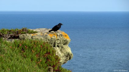 Raven, the Lizard, Cornwall. Photo copyright: David Bartholomew