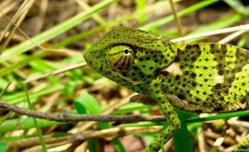 Flat-naked chameleon, Kilombero valley, Tanzania. Photo copyright: David Bartholomew