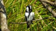 Pied kingfisher, Kilombero valley, Tanzania. Photo copyright: David Bartholomew
