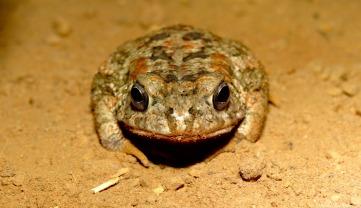 Frog, Kilombero valley, Tanzania. Photo copyright: David Bartholomew