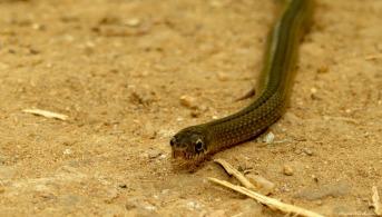 Snake, Kilombero valley, Tanzania. Photo copyright: David Bartholomew