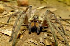 Tarantula, Kilombero valley, Tanzania. Photo copyright: David Bartholomew