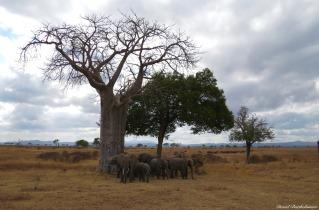 African elephants, Mikumi, Tanzania. Photo copyright: David Bartholomew
