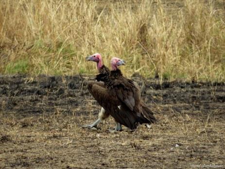 Lappet-faced vultures, Mikumi, Tanzania. Photo copyright: David Bartholomew