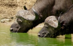 Cape buffalo, Mikumi, Tanzania. Photo copyright: David Bartholomew