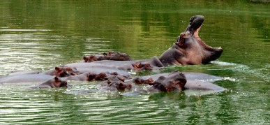 Hippos, Mikumi, Tanzania. Photo copyright: David Bartholomew