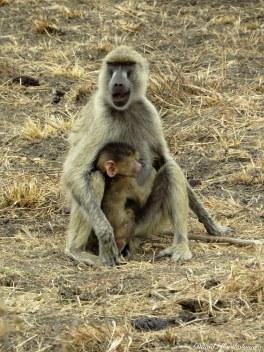 Yellow baboons, Mikumi, Tanzania. Photo copyright: David Bartholomew