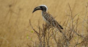 African Grey Hornbill, Mikumi, Tanzania. Photo copyright: David Bartholomew