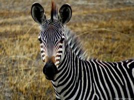 Common zebra, Mikumi, Tanzania. Photo copyright: David Bartholomew