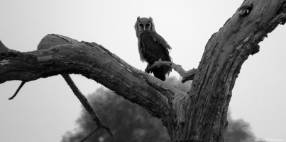 Verreaux's Eagle-Owl, Mikumi, Tanzania. Photo copyright: David Bartholomew