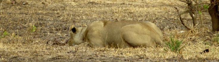 Lion, Mikumi, Tanzania. Photo copyright: David Bartholomew