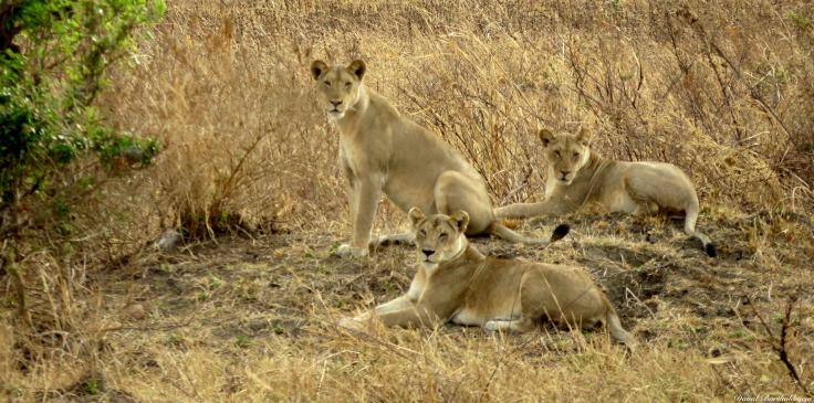 Lions, Mikumi, Tanzania. Photo copyright: David Bartholomew