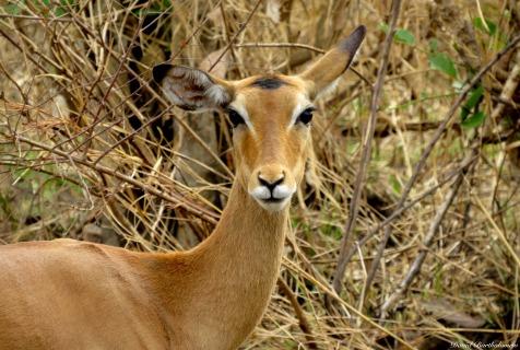 Impala, Mikumi, Tanzania. Photo copyright: David Bartholomew
