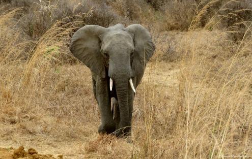 African elephant, Mikumi, Tanzania. Photo copyright: David Bartholomew