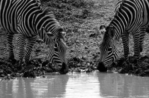 Common zebras, Mikumi, Tanzania. Photo copyright: David Bartholomew