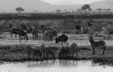 Common zebras and wildebeest, Mikumi, Tanzania. Photo copyright: David Bartholomew