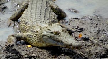 Nile crocodile, Mikumi, Tanzania. Photo copyright: David Bartholomew