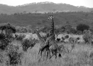 Maasai giraffes, Mikumi, Tanzania. Photo copyright: David Bartholomew