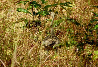 Black-bellied bustard, Iluma, Tanzania. Photo copyright: David Bartholomew