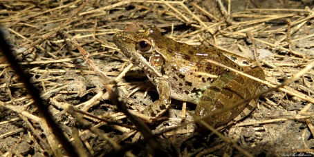 Rocket frog, Iluma, Tanzania. Photo copyright: David Bartholomew