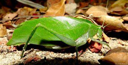 Leaf katydid, Iluma, Tanzania. Photo copyright: David Bartholomew