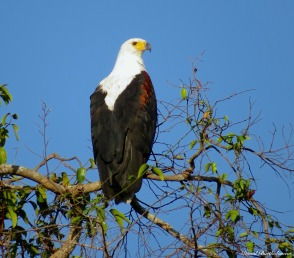 African fish eagle, Iluma, Tanzania. Photo copyright: David Bartholomew