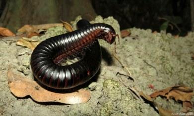 Giant millipede, Iluma, Tanzania. Photo copyright: David Bartholomew