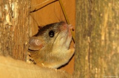 Woodland thicket rat, Tanzania. Photo copyright: David Bartholomew