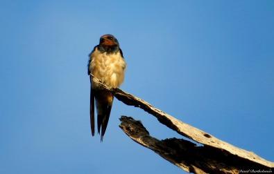 Barn swallow, Iluma, Tanzania. Photo copyright: David Bartholomew