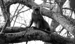 Mitis monkey, Iluma, Tanzania. Photo copyright: David Bartholomew