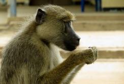 Yellow baboon, Mangula, Tanzania. Photo copyright: David Bartholomew