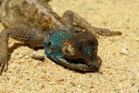 Dead blue-headed agama, Mangula, Tanzania. Photo copyright: David Bartholomew