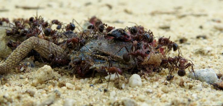 Ants feeding on a dead blue-headed agama, Mangula, Tanzania. Photo copyright: David Bartholomew